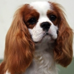 Hilton puppy